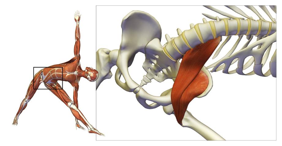 Psoas: el músculo clave del yoga y como trabajarlo en las posturas ...